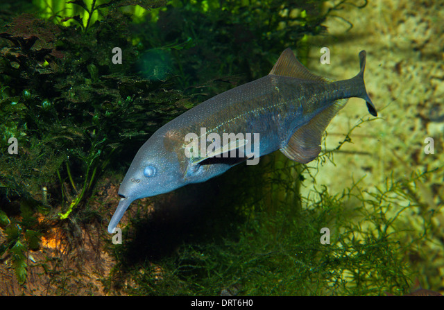 Elephantnose Fish, Gnathonemus petersii, Congo - Stock-Bilder