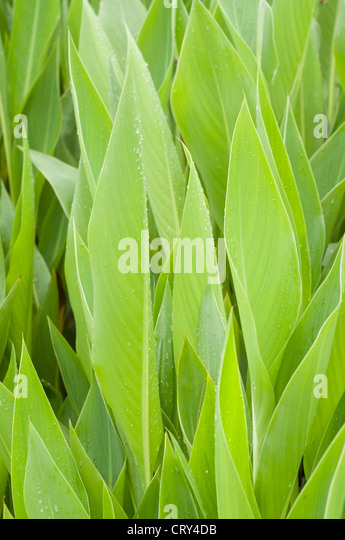 leaves of canna lily - Stock-Bilder