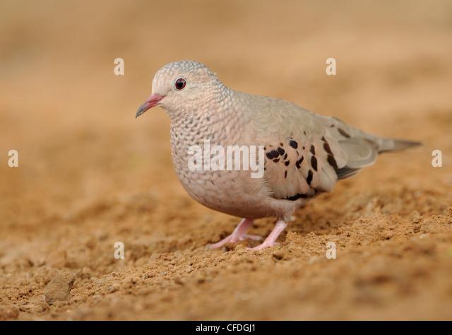 Common Ground Dove (Columbina passerina) - Santa Clara Ranch, Texas, United States of America - Stock Image