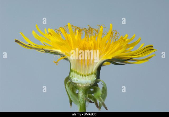 Dandelion (Taraxacum officinale, Taraxacum sect. Ruderalia), vertical section through blossom. - Stock Image