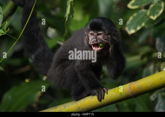 A Black Capuchin Monkey from the Atlantic Rainforest - Stock Image