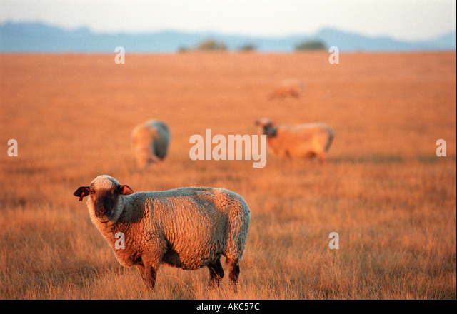 Sheep in filed at sunrise - Stock Image