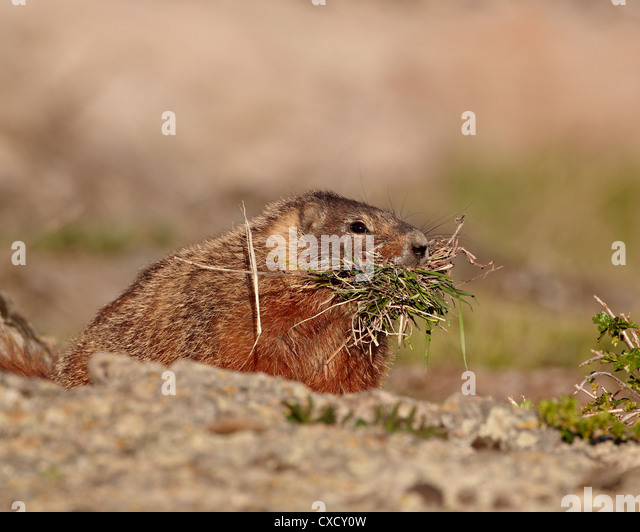 Yellow-bellied marmot (yellowbelly marmot) (Marmota flaviventris) with nesting material, Yellowstone National Park, - Stock Image