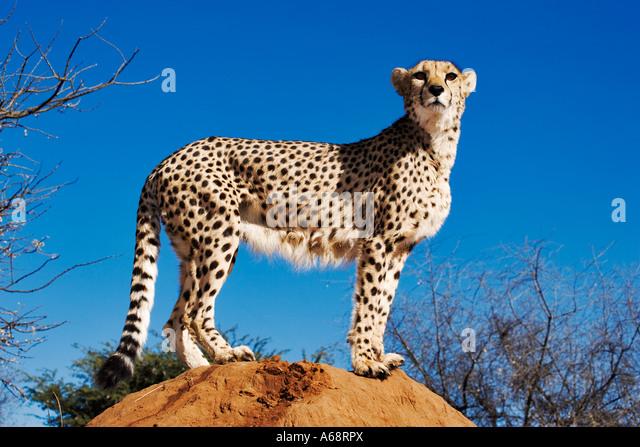 Cheetah Acinonyx jubatus using termite mound as look out point. Namibia - Stock Image