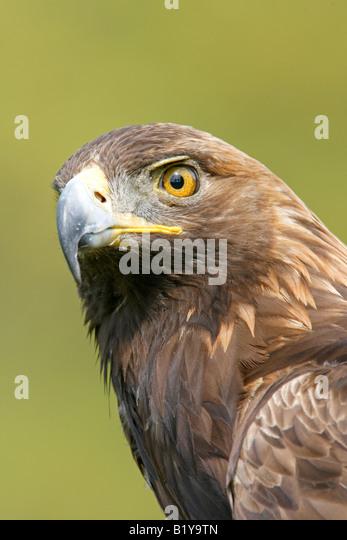Captive Golden Eagle Profile Vertical - Stock-Bilder