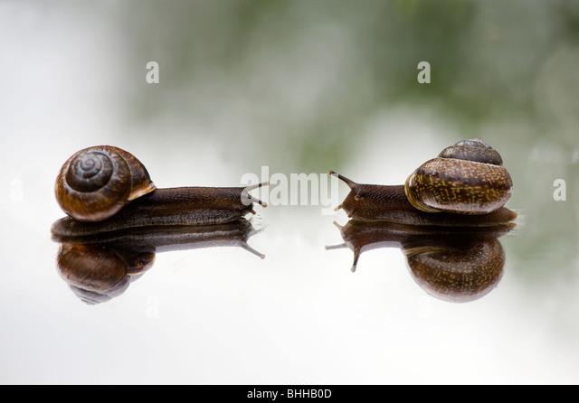 Snails on a mirror, close-up, Sweden. - Stock-Bilder