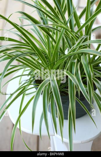 Spider Plant, Chlorophytum comosum - Stock Image