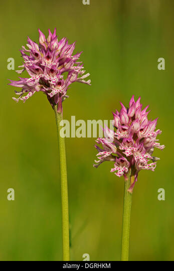 how to keep orchis blooming
