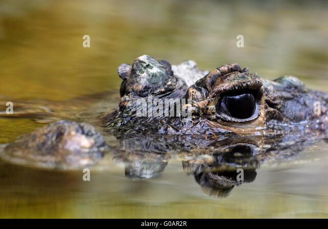 Mugger crocodile - Stock-Bilder
