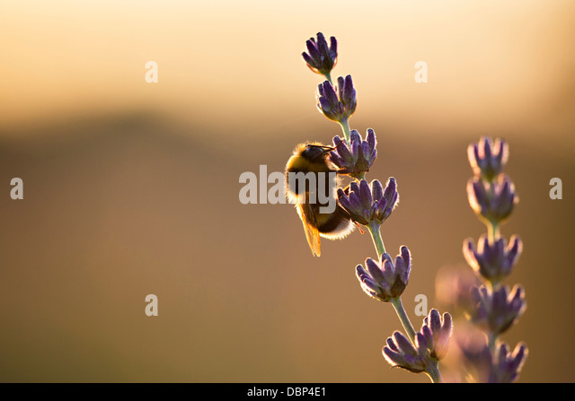Bumblebee in Lavender Field, Island Hvar, Croatia, Europe - Stock-Bilder