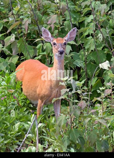 White-tailed Deer in Marsh - Stock Image