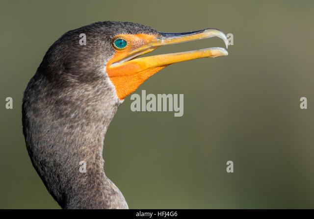 Double-crested Cormorant - Green Cay Wetlands, Boynton Beach, Florida USA - Stock Image
