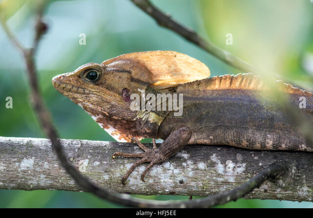 Basilisk Lizard - Green Cay Wetlands, Boynton Beach, Florida, USA - Stock Image