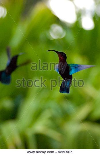 Hummingbird in flight, Le Jardin de Balata, Martinique, Windward Islands, Caribbean - Stock-Bilder