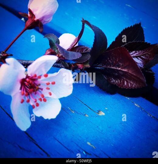 Prune Blossom - Stock Image