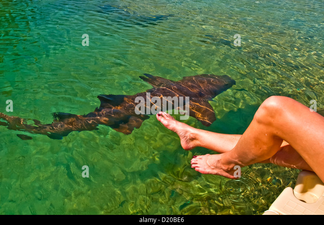 Woman holding feet just above swimming shark at the Dolphin Cove tourist attraction Ocho Rios - Stock Image