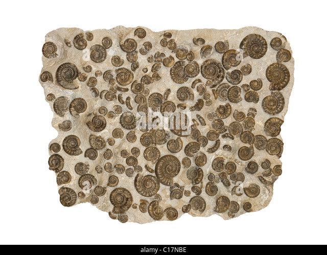 Fossil Ammonites Arnioceras kridioides from Jurassic period Yorkshire Coast UK - Stock Image