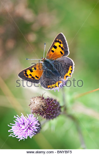 Lycaena phlaeas. Small copper butterfly - Stock Image