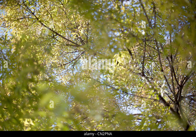 Trees and leaves, low angle view - Stock Image