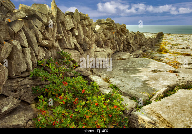 Karst landscape with fence and holly bush. The Burren, County Clare. Ireland - Stock-Bilder