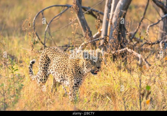 Botswana. Okavango Delta. Khwai Concession. Female leopard (Panthera pardus) in the tall grass. - Stock Image