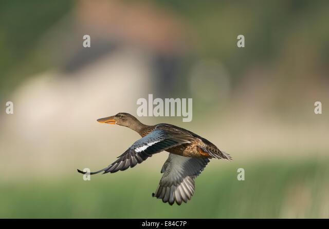 Shoveler Anas clypeata female Cley Norfolk July - Stock Image