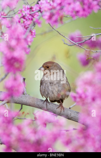 California Towhee perching in Redbud Blossoms - Vertical - Stock Image