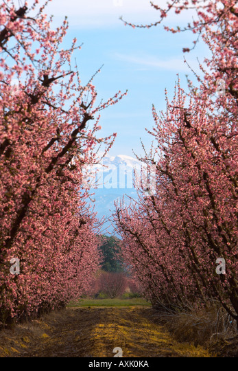 rows of growing plants cherry blossom trees branches flowers buds season blue sky road walkway brown reach up snow - Stock Image