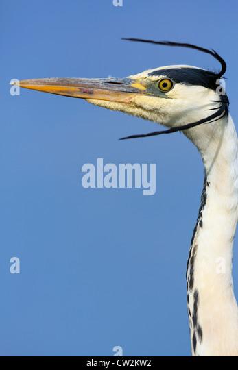 Grey Heron(Ardea cinerea)Hungry - Stock-Bilder