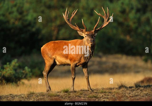 Red Deer (Cervus elaphus) stag during mating season - Stock Image