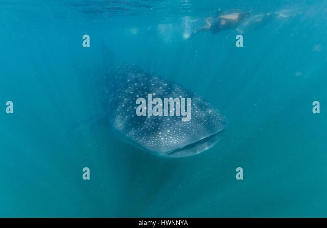 Philippines, Luzon, Sorsogon Province, Donsol, tourists swimming with whale shark (Rhincodon typus) in the plankton - Stock-Bilder