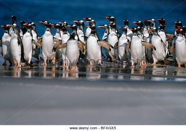 Gentoo penguins coming ashore, Pygoscelis papua, Falkland Islands - Stock Image