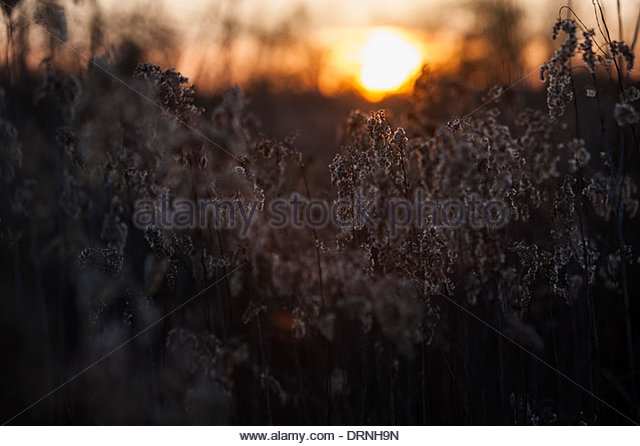 Herbs at sunset. - Stock Image