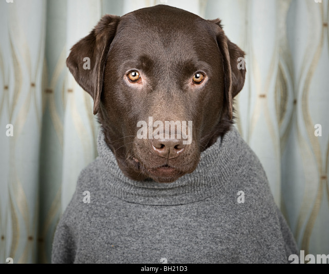 Labrador in Grey Roll Neck Jumper - Stock Image