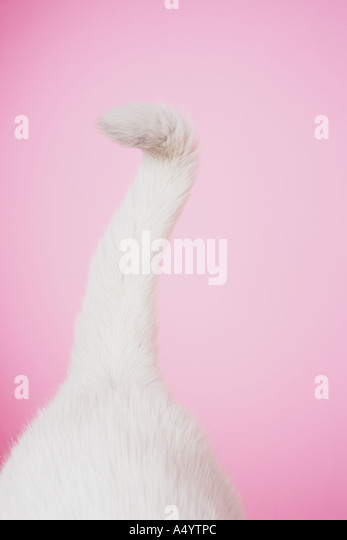 Tail of white cat - Stock Image