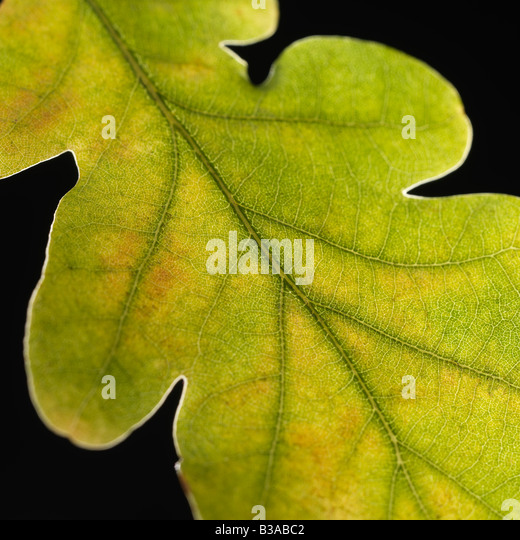 Fallen leaf on a black background - Stock Image