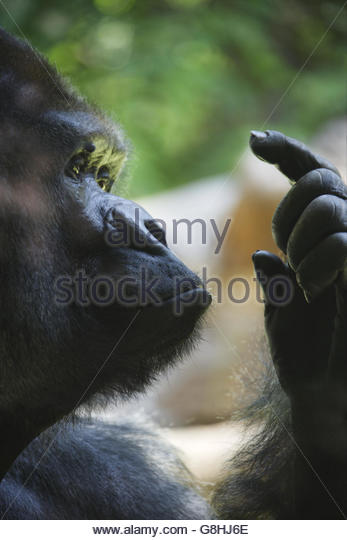 Close up of Gorilla holding up finger, Loro Parque, Tenerife, Canary Islands, Spain - Stock Image
