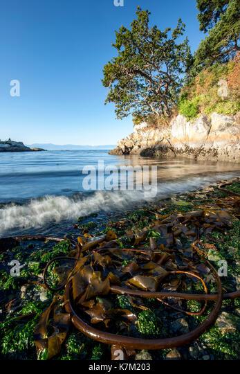 Bull Kelp at Saxe Point Park - Esquimalt, Victoria, Vancouver Island, British Columbia, Canada - Stock Image