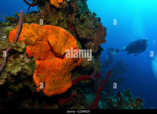 Scuba diver swims past a outcropping of sponges. - Stock-Bilder