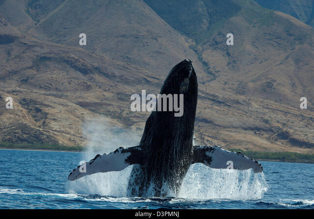 Breaching humpback whale, Megaptera novaeangliae, with West Maui in the background, Hawaii. - Stock Image