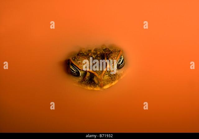 Suriname, Brownsweg, Brownsberg National Park. Cane Toad (Bufo Marinus). In laterite pool. - Stock-Bilder