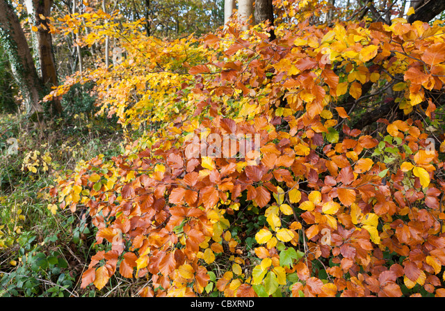 Multi coloured leaves on a Cotswold beech tree in autumn at Edge, Gloucestershire - Stock Image