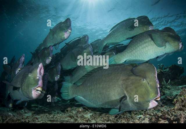 A school of humphead parrotfish, Malaysia Sipdan island (Bolbometopon muricatum) - Stock-Bilder
