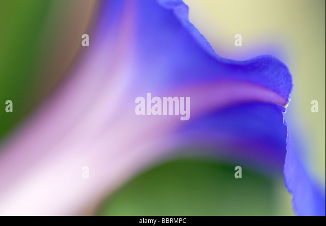 Ipomea indica Blue morning glory flower England Summer - Stock Image