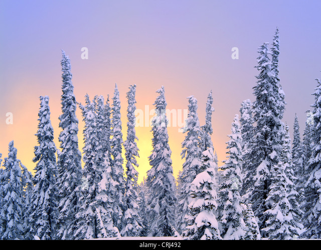 Snow on trees with sunset color. Mt. Rainier National Park, Washington - Stock-Bilder