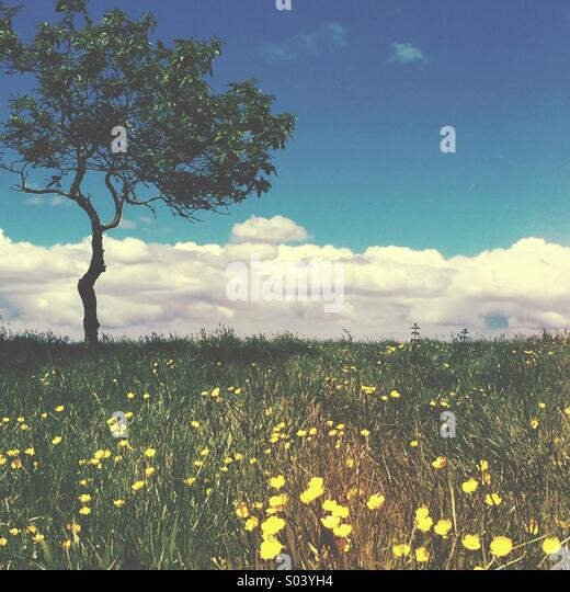 Lone tree in a field of wild flowers, with blue sky and clouds in the summer - Stock-Bilder