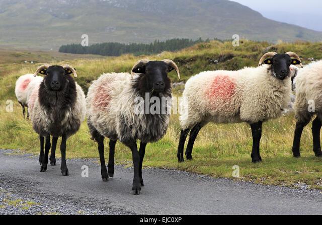 Sheep Herd Road Stock Photos & Sheep Herd Road Stock ...