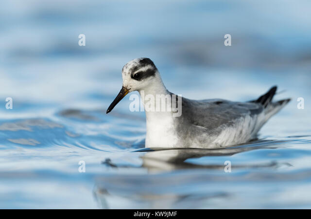 Red Phalarope - Stock Image