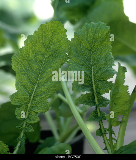 Cauliflower mosaic virus infection chlorotic netted symptoms on turnip leaves - Stock Image