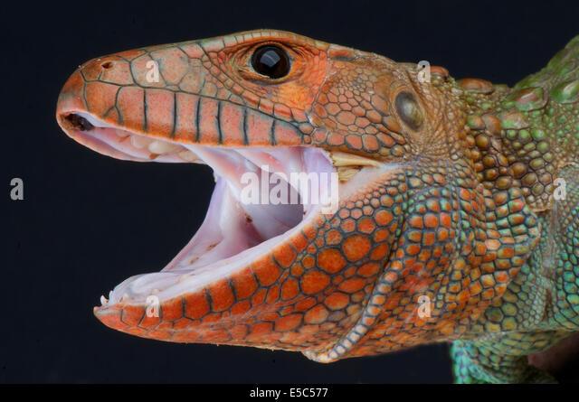 Caiman lizard / Dracaena guianensis - Stock Image